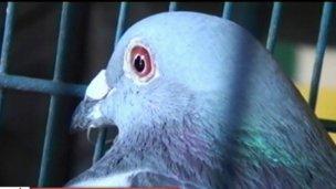 La paloma mensajera les trajo suerte