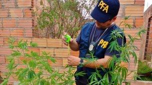 Hallan 5 plantines de marihuana en Villa Zorraquín