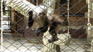 Supuesta venta de monos alarma a los vecinos