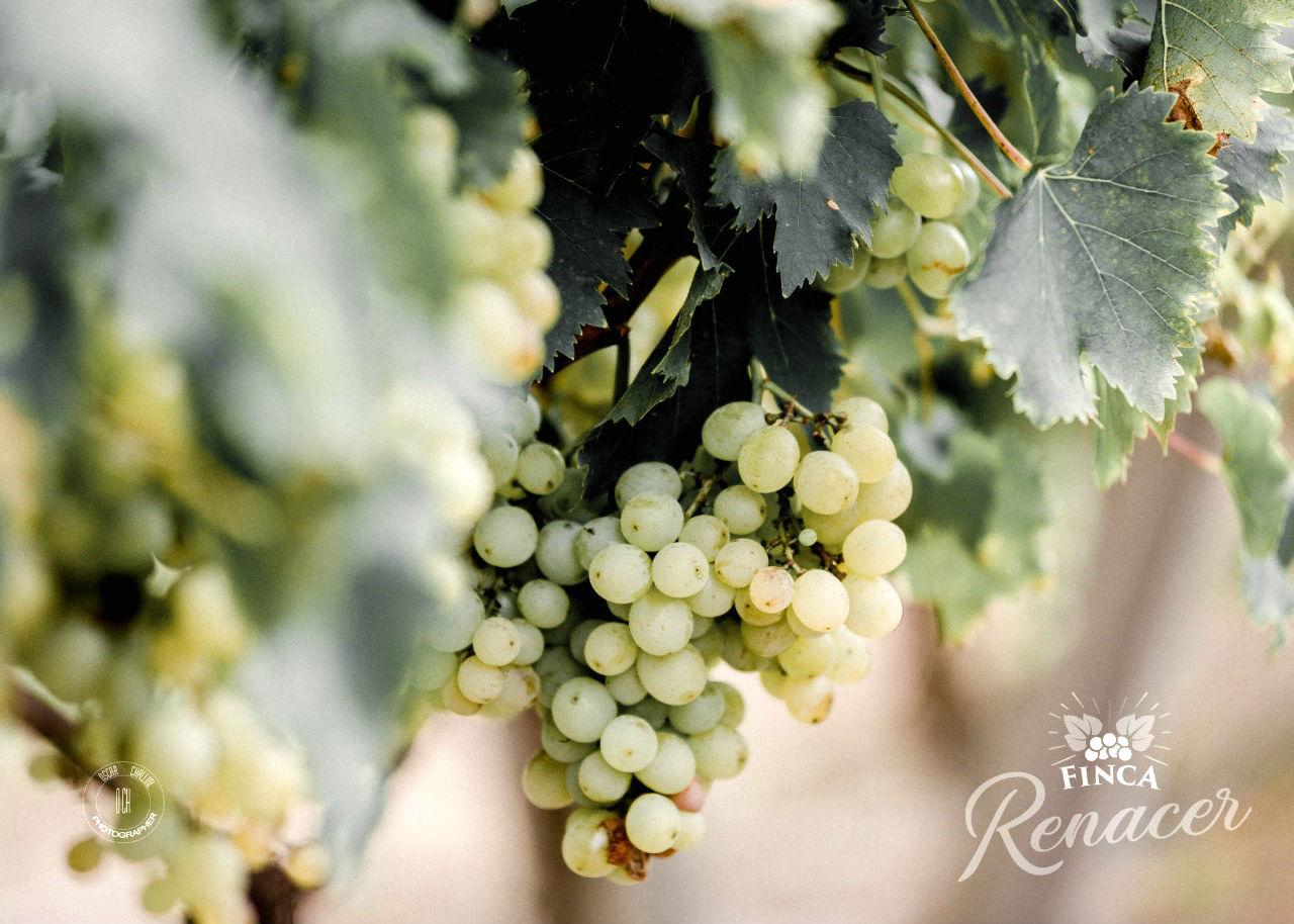 El Moscatel de Alejandría, la cepa blanca que se distingue en los viñedos ubicados en San Bonifacio.