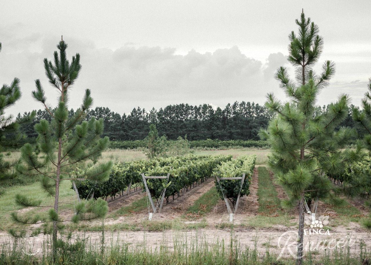 Así lucen, tan peculiares y vistos, los viñedos donde se hará la Vendimia del 8 de febrero.