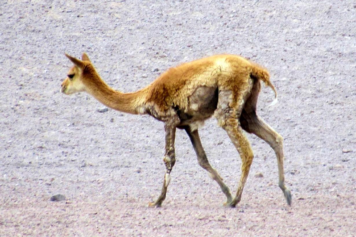 Vicuña con probable sarna en área protegida, Chile / CONAF.