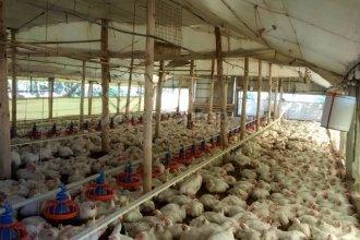 Hacían arreglos en los postes y cortaron la luz, causando que murieran más de 3000 pollos en una granja