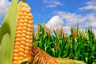 Monsanto anunció que invertirá en el desarrollo del maíz