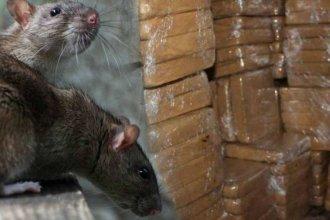 ¿Ratas narco?: asciende la cantidad de droga desaparecida