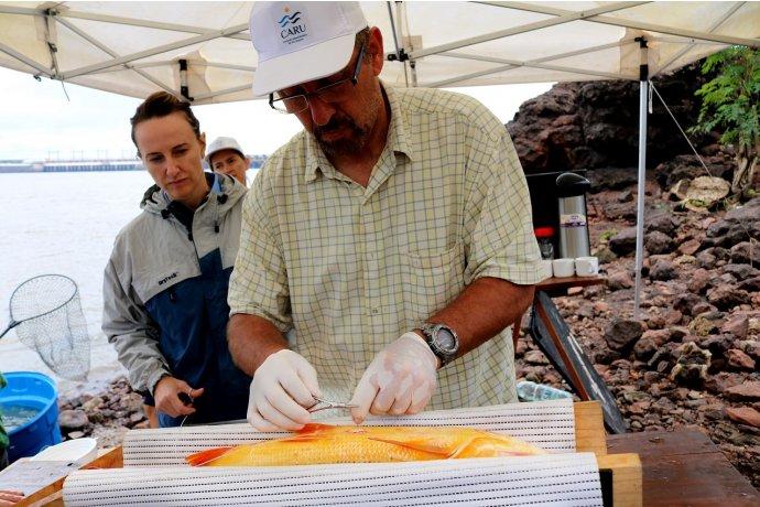 A través de radio telemetría monitorearán los dorados del río Uruguay