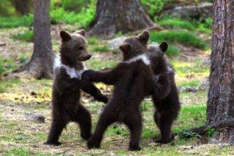 Sobre los osos bailarines