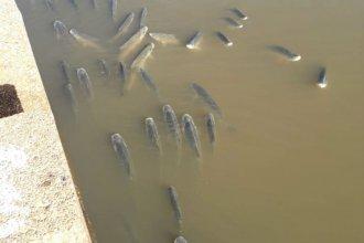 Video: rescataron sábalos atrapados en un arroyo por la crecida del río Uruguay