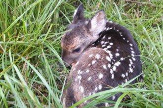"""Nació """"India"""", la primera cría del programa de reinserción de ciervos autóctonos"""