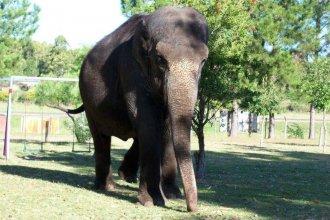 Tras años de espera, la elefanta del zoológico concordiense será trasladada