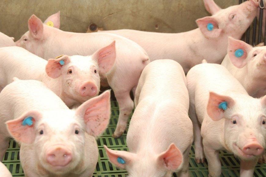 """El sector porcino atraviesa una """"grave crisis"""""""