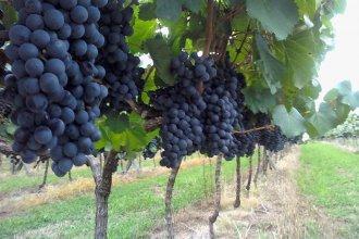 "Pese a las ""dificultades"", aseguran que la vitivinicultura entrerriana ""crece y busca diferenciarse"""