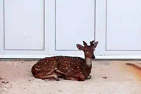 Al despertarse, un ciervo lo esperaba en la puerta de su casa