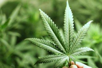 Cannabis medicinal: el Senado provincial tratará la adhesión a la Ley Nacional