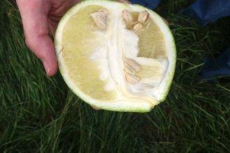 Entrerrianos describen el devastador avance del HLB sobre el citrus de USA