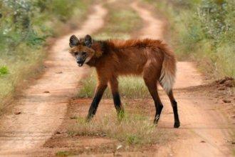 Vieron dos ejemplares de un animal que creían extinto en la región