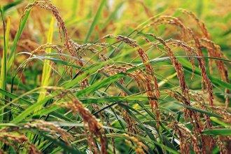Entre Ríos atraviesa la temporada con menor producción de arroz de los últimos 19 años