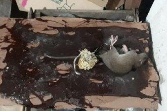 Clausuraron supermercado chino: encontraron ratas y productos vencidos