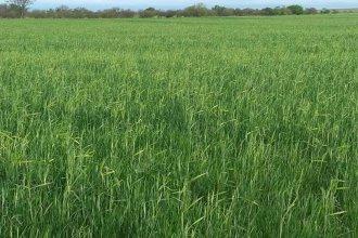 Optimismo: productores esperan una buena cosecha de trigo