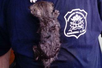 Del incendio de una casa, al rescate de un gato: La agitada mañana de los bomberos concordienses