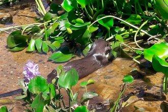 Un ejemplar en peligro de extinción causó sorpresa en el norte entrerriano