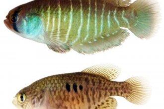 Descubren una nueva y colorida especie de peces en humedales de la región