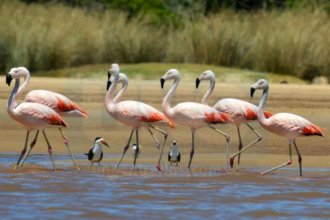 Increíble postal en el río Uruguay: el camino migratorio de un grupo de flamencos