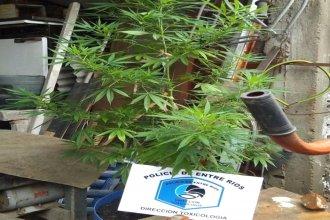 Hallaron planta de marihuana de casi un metro y medio en vivienda de Federación