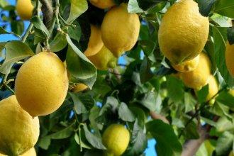 Erradicaron un limonero con HLB positivo en un domicilio de Villa del Rosario