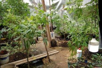 Allanaron una vivienda en Colón y encontraron un vivero con plantas de marihuana
