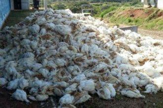 4000 pollos murieron sofocados en una empresa avícola del norte entrerriano