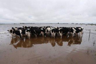 Por las intensas lluvias, advierten que la producción tambera cayó más del 20%