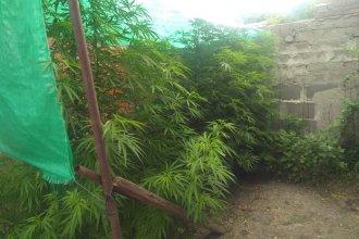 En un allanamiento por robos, terminaron encontrando plantas de marihuana de más de dos metros de alto