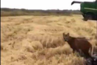 Imperdible video: dos ejemplares en peligro de extinción se pasean por una plantación de arroz