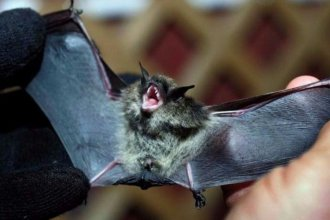 Hallaron un murciélago con rabia en la peatonal y el Ministerio de Salud debió intervenir