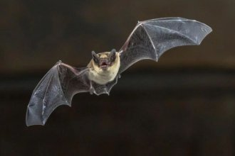 Difunden qué hacer al encontrar un murciélago, tras el hallazgo de uno con rabia en Paraná