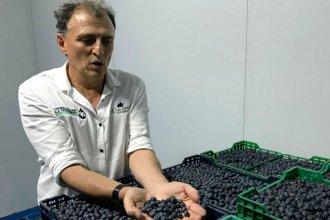 """Crisis y preocupación en el sector arandanero: """"Hay campos que están cerrando"""""""