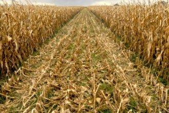 Récord histórico: la cosecha de maíz en Entre Ríos llegó a 2,3 millones de toneladas