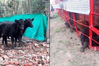 Camión que transportaba ganado volcó: los vecinos aprovecharon y faenaron los animales