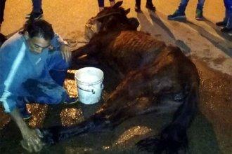 Concepción del Uruguay: caballo que tiraba de un carro cayó exhausto en el medio de la calle