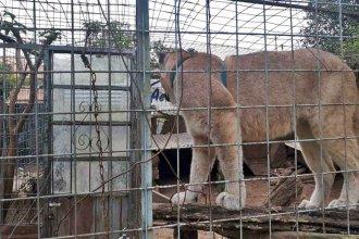 Allanaron una vivienda y encontraron dos pumas encerrados en jaulas de hierro