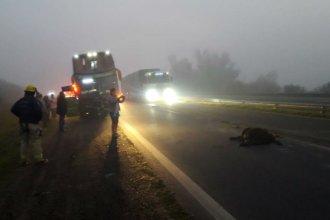 Entre la niebla, un colectivo que transitaba por Entre Ríos chocó contra animales sueltos
