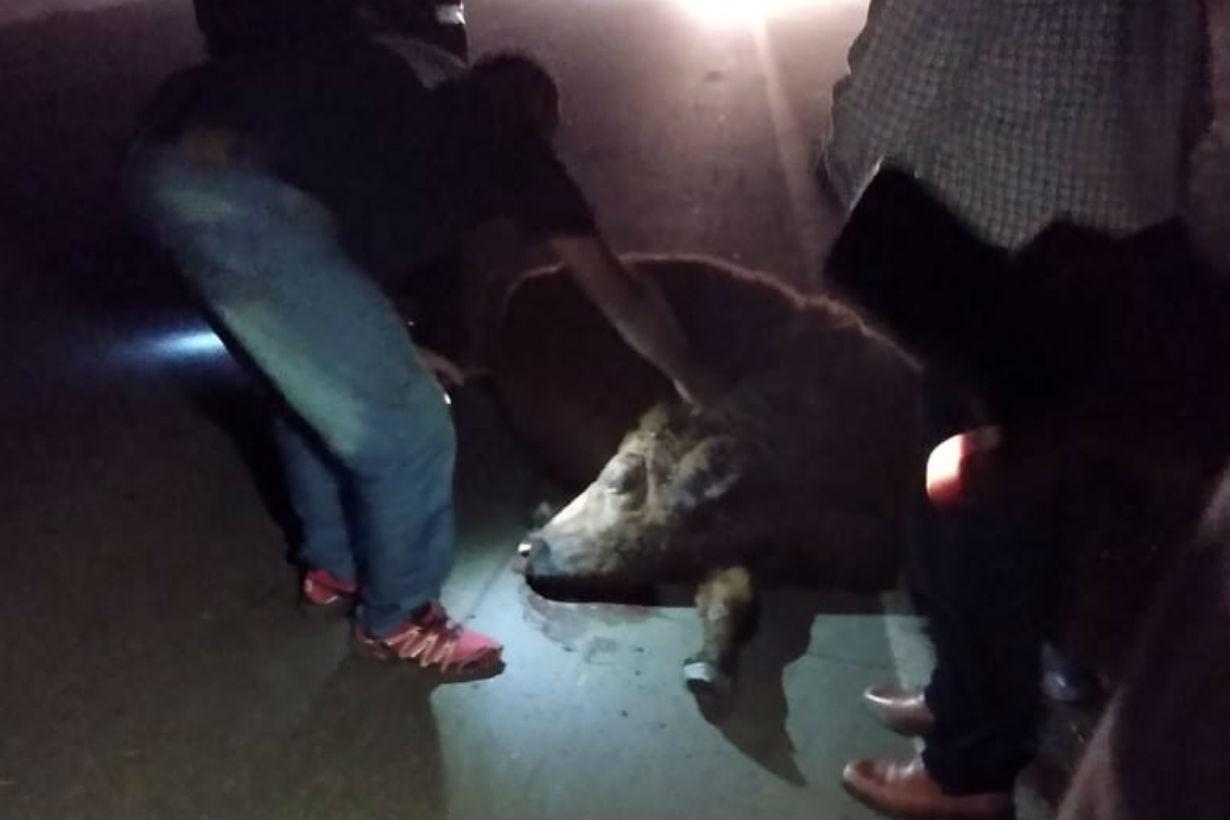 El ternero afectado por el choque (foto: EER).