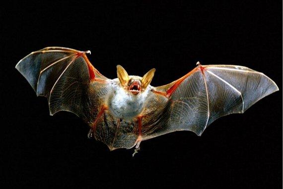 Difundieron recomendaciones a tener en cuenta tras un caso positivo de rabia en un murciélago