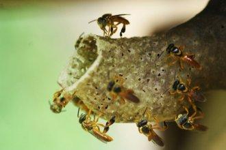"""Importante hallazgo: la abeja """"yateí"""" y su miel medicinal apareció en territorio entrerriano"""