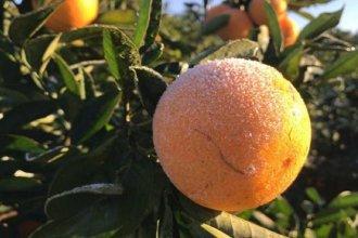 El citrus entrerriano, afectado por las bajas temperaturas