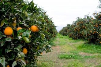 Por falta de certificados, el SENASA destruyó 4200 plantas de citrus en localidad entrerriana
