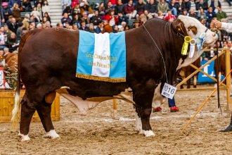 Tras una violenta jornada en la Rural, Entre Ríos aportó los campeones de la raza Braford con un doblete