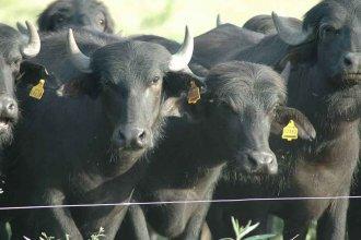 Criador de búfalos denunció la construcción de megadiques en el Delta entrerriano