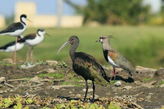 Otra vez compararon políticos con aves: esta vez apuntaron contra Bordet
